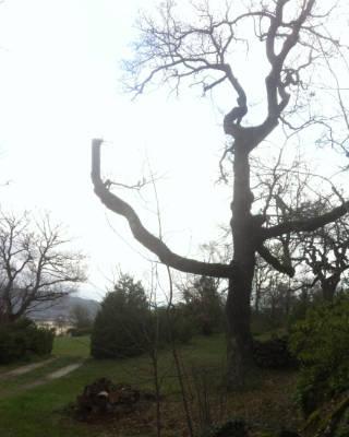 El roble de la foto, tiene una doble cavidad. La poda sobre prolongamientos cuando despoja a toda la rama del arbol de seguir realizando su capacidad fotosintética, suele conducir a que el propio árbol abandone a la rama a su secado.