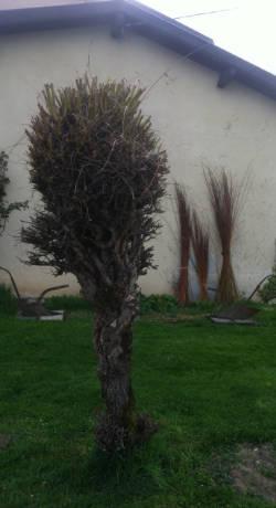 Desmochado de Salix alba. En la pared contigua se pueden ver las varas secandose para utilizarse en la construcción elementos vegetales.