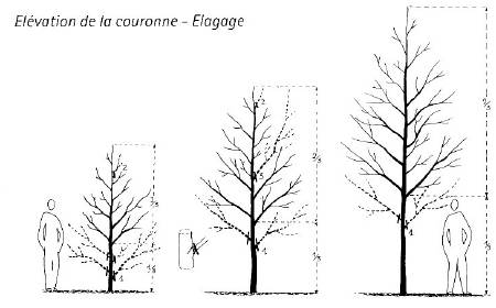 Elevación de la corona. 1. Poda progresiva de las ramas bajas sin sobrepasar el tercio de la alturadel árbol. 2-3. Formación del tronco deshorquillado, supresión de ramas competitivas. Fte.: E. Michau