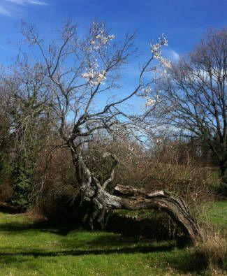 almendro senescente. Se puede apreciar una parte florecida del tortuoso árbol y otra parte compuesta que por ramas muertas de diferente calibre.