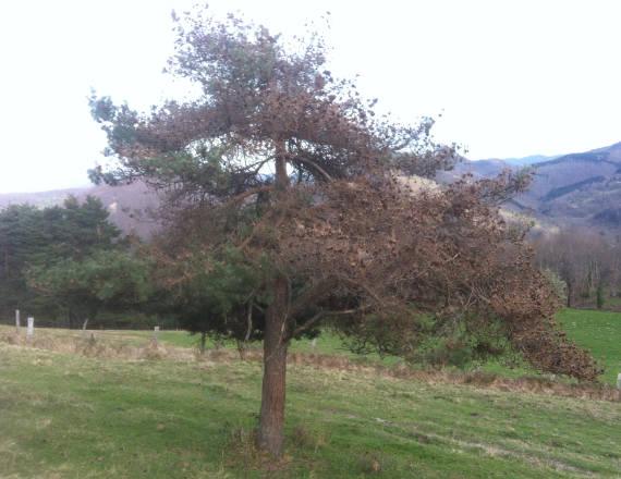 Pino silvestre (Pinus sylvestris) fuertemente atacado y colonizado por nidos de procesionaria al final del invierno. Este pino, que esta situado a unos 800 m de altitud en el Pirineo, podemos diferenciar la preferencia por la hembra en la puesta a elegir la orientación sur, para que la colonia pasa un invierno mas calido.