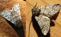 Mariposa macho y hembra de la Oruga Procesionaria