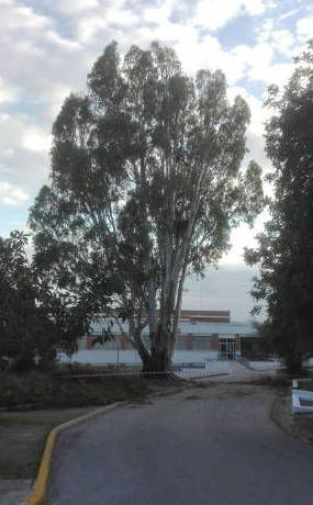 poda eucalipto colegio olivos