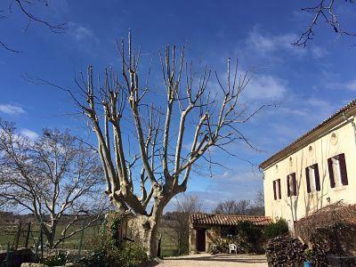 platano de la sombra podado les clots francia