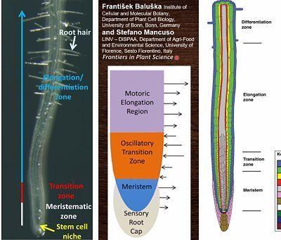 raices finas anatomia