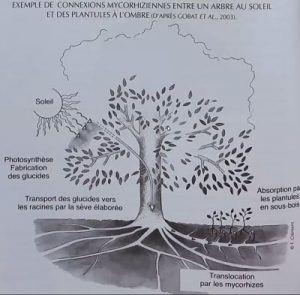 interaccion raices arbol madre con plantulas