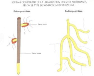 endo y ectomicorrizas