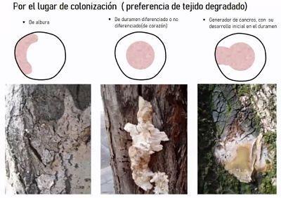 clasificacion segun el lugar de descomposicion elegido por el hongo