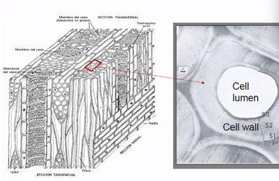 Paredes celulares en las especies frondosas