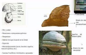 identificacion hongos