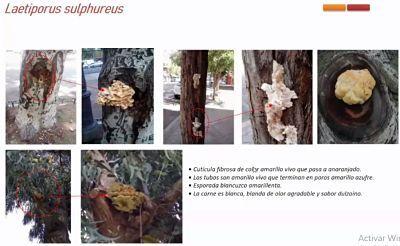 L. sulphureus
