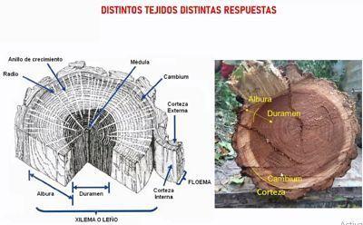 composicion corte transversal madera