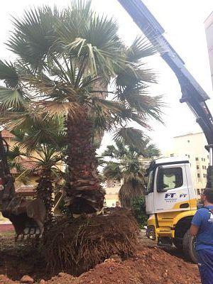 trasplante de palmeras washingtonias