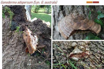 Ganorderma adpersum y G. resinaceum