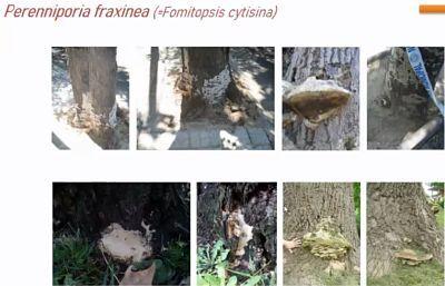 P. fraxinea