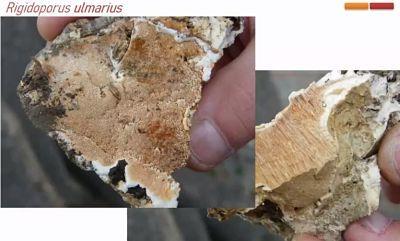 Rigidoporus ulmarius